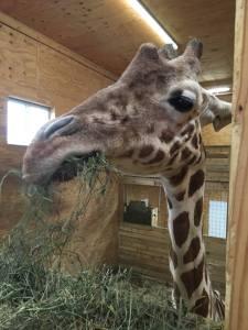 ApriltheGiraffe
